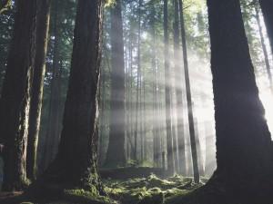 Light beams through dense woods by Kim Crayton, aka Lady Heron.
